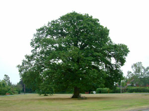 Famous Oak Tree in Hanley Swan