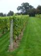 Bacchus Vines at CoddingtonVineyard